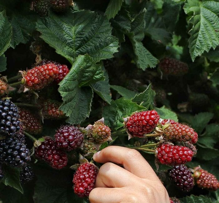 5 Benefits of Eating Foraged Berries